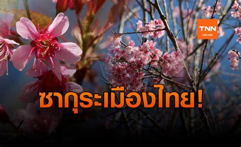 เบ่งบานแล้ว! ซากุระเมืองไทย ที่ภูลมโล