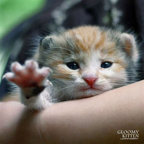 Pictures Of Really Cute Kittens Gloomy Kitten Very Cute 4 Thumb A Gloomy Kitten Very Cute