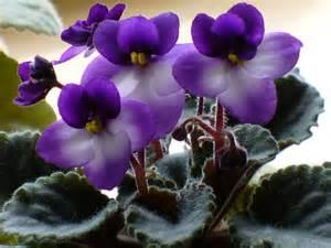 African Violet Indoor Plants