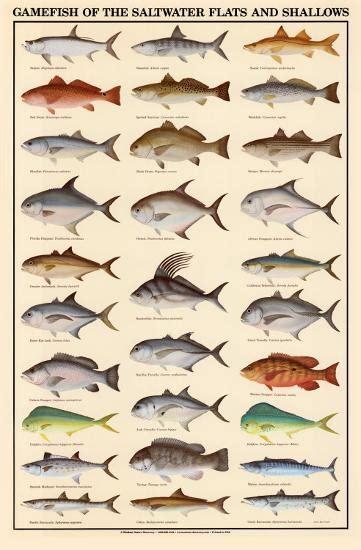 game fish   saltwater flats  shallows art