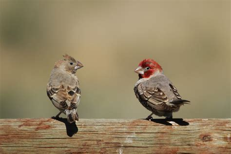 red headed finch bird wildlife photography  richard