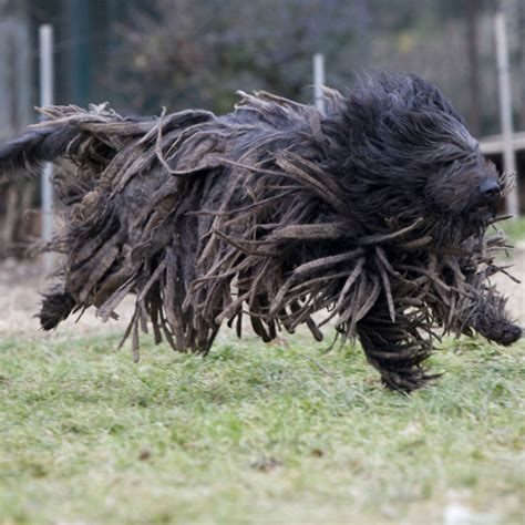 bergamasco sheepdog breed guide learn