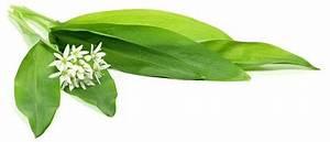 Bärlauch Pflanze Kaufen : bio b rlauch extrakt online kaufen feine ~ Eleganceandgraceweddings.com Haus und Dekorationen