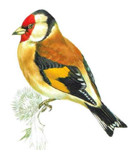 goldfinch identification habitat and food
