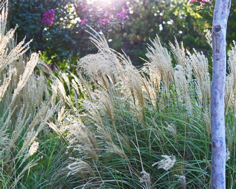 Garten Sichtschutz Gras by Ziergras Als Sichtschutz 187 Welche Arten Eignen Sich