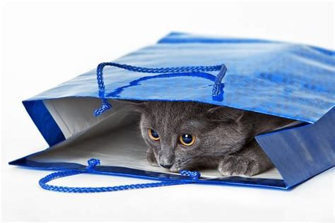 Do Russian Blue Cats Shed by Russian Blue Shedding Animal Hearted Apparel