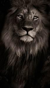 Black Lion Iphone Wallpaper
