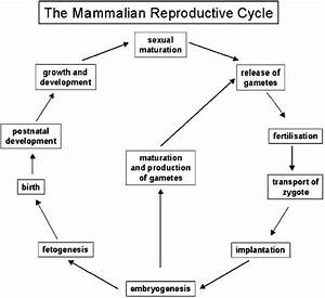 The Mammalian Reproductive Cycle  The Essential Steps Of