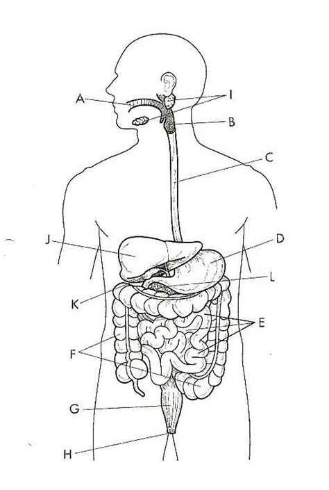 Best Digestive System Diagram Ideas And Images On Bing Find What