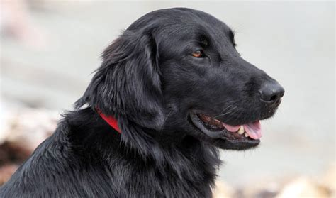 Flat Coated Retriever Molting by Flat Coat Retriever Picture And Images