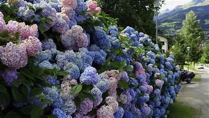 Lilac Bushes Wallpapersafari