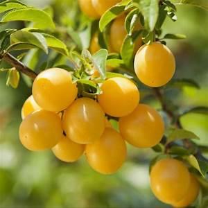 Arbres Fruitiers Nains En Pleine Terre : prunier 39 mirabelle de nancy 39 plantes et jardins ~ Premium-room.com Idées de Décoration