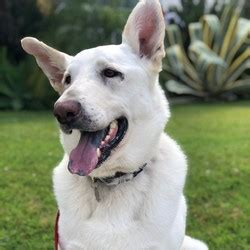 Male German Shepherd Dog is available for adoption
