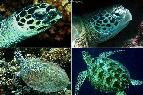 images  green  hawksbill sea turtles