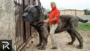 10 Biggest Guard Dogs In The World - YouTube