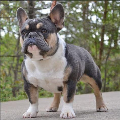 french bulldog puppies  sale  local breeder