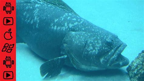 grouper goliath fish