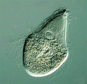 protozoa - rhowey
