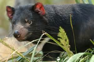 Tasmanian devils are threatened by a mysterious cancer ...