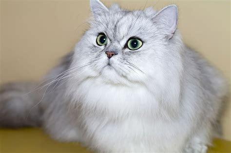 quanto vivono i gatti persiani le 4 migliori razze di gatti da appartamento gatti