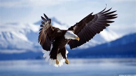 high back wing eagle wallpaper hd high definition wallpapers high
