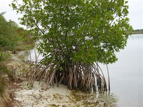 Welcome to Florida: Feb 7 Mangrove