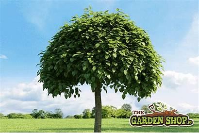 Trees Specimen Tree Garden Gardens Indian Grow