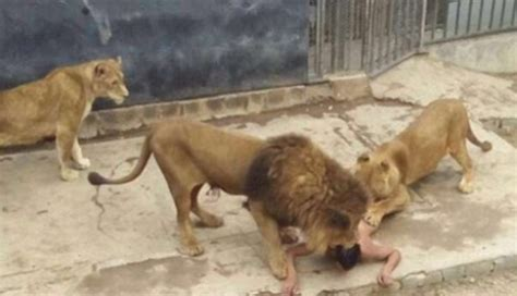 chile zoo kills lions  protect suicidal man  entered