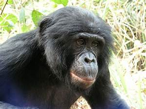 Study Finds The Forgotten Ape Threatened By Human Activity