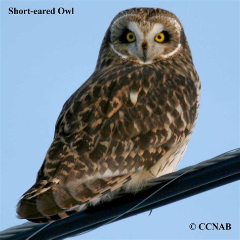 owls north american birds birds of north america