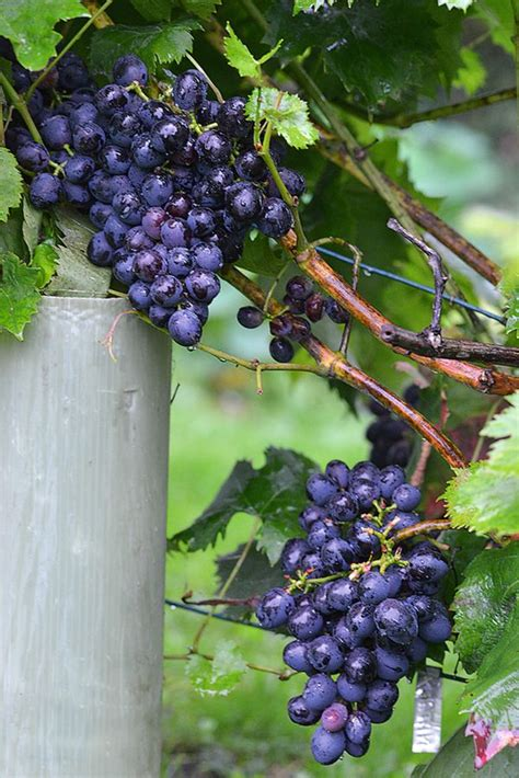 Neticami bagāts vīnogu gads Kužumu dārzā Ceraukstes ...
