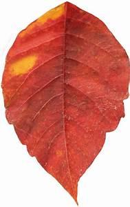 Autumn Leaf Single transparent PNG - StickPNG