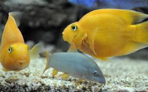 blood parrot cichlid freshwater aquarium fish wallpaper