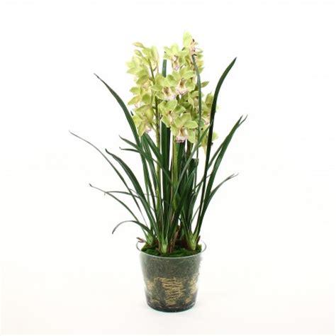 orchid 233 e cymbidium dans pot en verre avec mousse vert