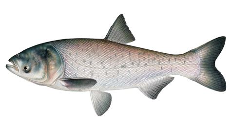 asian fish carpe diem a fishy tale