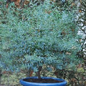 Eucalyptus En Pot : eucalyptus gunni france bleu 39 rengun 39 achat direct au ~ Melissatoandfro.com Idées de Décoration