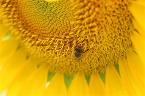 close  macro photography yellow sunflower pollen