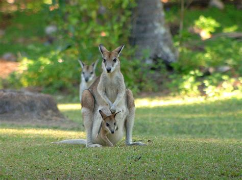 eco cuisine the agile wallaby is commonly sighted in northern australia