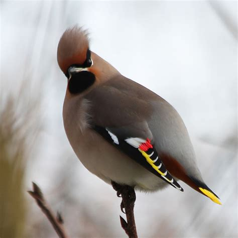beautiful   waxwing birds twistedsifter
