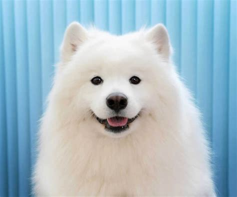 samoyed dog breed   samoyeds