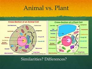 Wong  Lp 6 Animal Vs  Plant Mitosis
