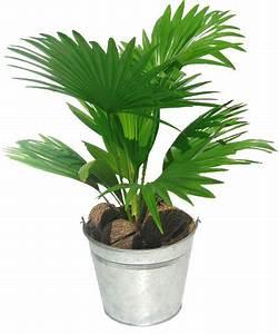 Entretien Plante Verte : palmier plantation entretien ~ Medecine-chirurgie-esthetiques.com Avis de Voitures