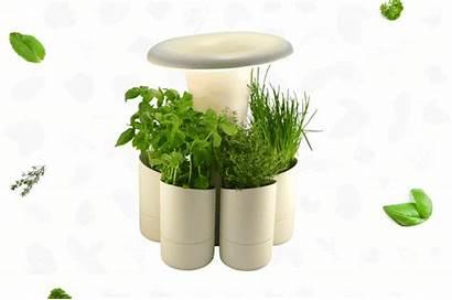 Garden Calla Indoor Herbs Fresh Growing Herb