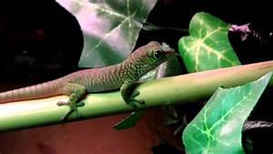 Baby Phelsuma Madagascariensis Grandis (Giant Madagascar ...