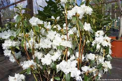 rhododendron dauricum april snow havlis cz
