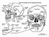 Bones Skull Coloring Human Anatomy Cranium Face Skeletal System Features Exploringnature Drawing Pdf Physiology Rib Skeleton Head Cranial Facial Sheets sketch template