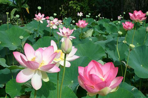 Lotus Garden Hours by Blue Lotus Water Garden Go Beyond Melbourne