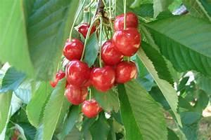 Planter Un Cerisier : cerisier emplacement et conseils de culture ~ Melissatoandfro.com Idées de Décoration