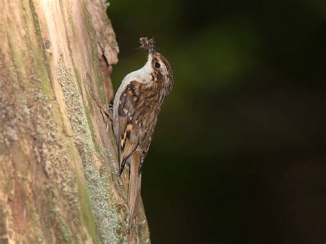 the treecreeper habitat identification nesting habits saga