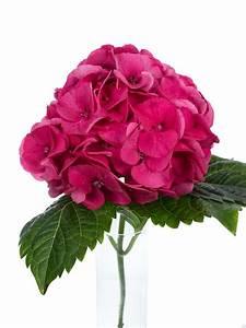 Hortensie Als Zimmerpflanze : hortensie magical sibilla rot pink als schnittblume ~ Lizthompson.info Haus und Dekorationen